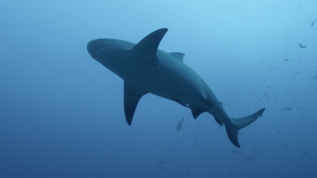 80 Top Bull Shark Video Clips & Footage - Getty Images