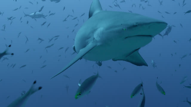 vidéos et rushes de bull shark (carcharhinus leucas) swims in blue ocean, fiji - chasser
