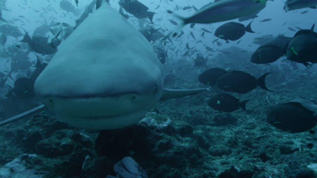 bull shark (carcharhinus leucas) swims over coral reef and bumps into camera, fiji - reef shark stock videos and b-roll footage
