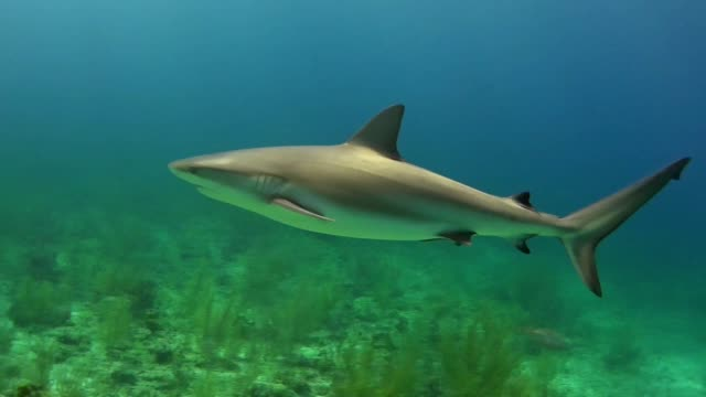 bull shark. underwater scenery - young animal stock videos & royalty-free footage