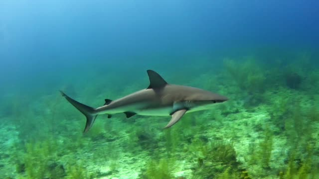 bull shark. underwater scenery - shark stock videos & royalty-free footage
