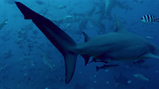 bull shark underwater surrounded by tropical fish - pacific islands stock videos & royalty-free footage
