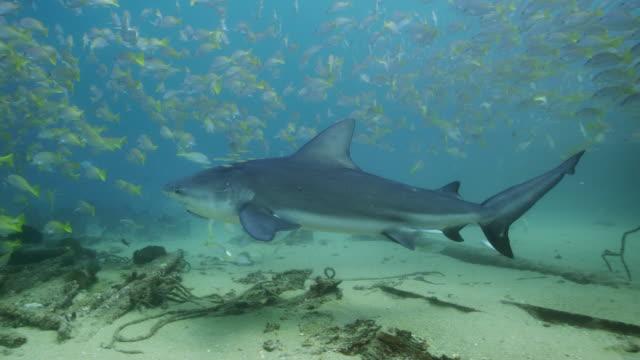 bull shark - sea life stock videos & royalty-free footage