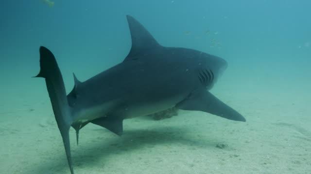 stockvideo's en b-roll-footage met bull shark - schiereiland baja california