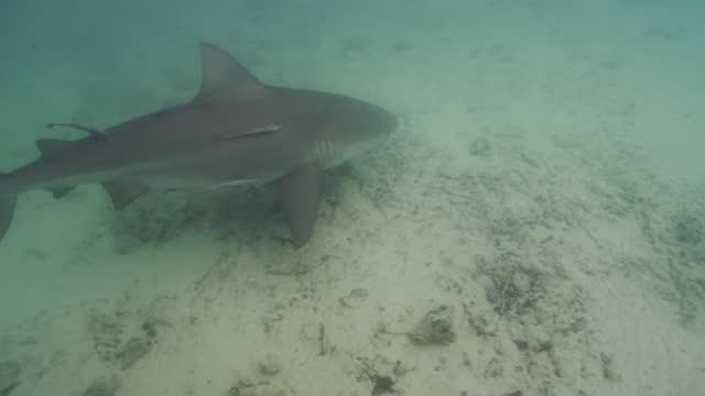 bull shark - bimini stock videos & royalty-free footage