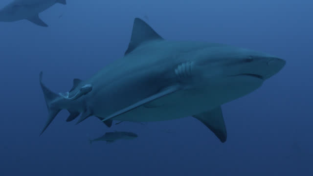 vidéos et rushes de bull sharks (carcharhinus leucas) and remoras swim in blue ocean, fiji - chasser