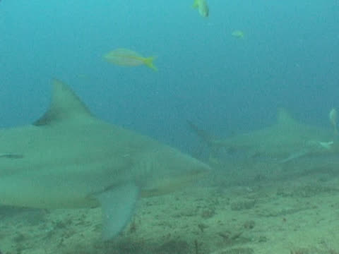 bull sharks (carcharhinus leucas) fed by divers on sea floor. playa santa lucia, cuba - 数匹の動物点の映像素材/bロール