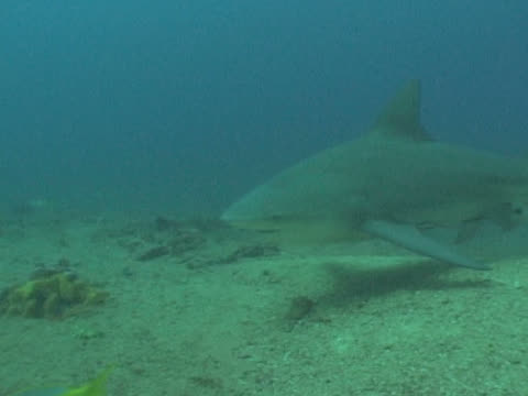 bull sharks (carcharhinus leucas) fed by divers on sea floor. playa santa lucia, cuba - small group of animals stock videos & royalty-free footage