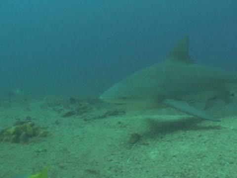 bull sharks (carcharhinus leucas) fed by divers on sea floor. playa santa lucia, cuba - kleine gruppe von tieren stock-videos und b-roll-filmmaterial