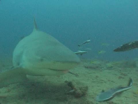 bull sharks (carcharhinus leucas) forage on sea floor. playa santa lucia, cuba - kleine gruppe von tieren stock-videos und b-roll-filmmaterial