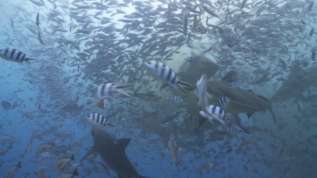 Bull sharks in chum feeding frenzy