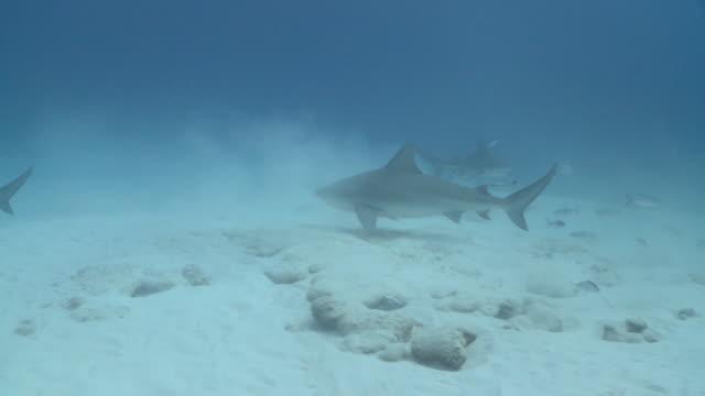 MS TS Bull sharks over sand / Playa del Carmen, Isla Mujeres, Mexico