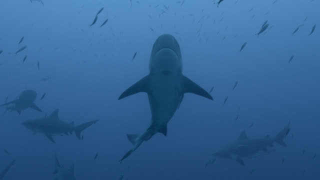 bull sharks (carcharhinus leucas) swim in blue ocean, fiji - large group of animals 個影片檔及 b 捲影像
