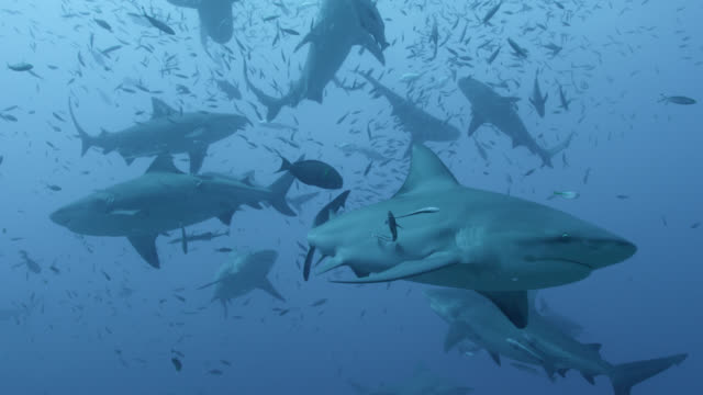 bull sharks (carcharhinus leucas) swim in blue ocean, fiji - school of fish stock videos & royalty-free footage