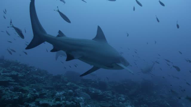 bull sharks (carcharhinus leucas) swim over coral reef, fiji - reef stock videos & royalty-free footage