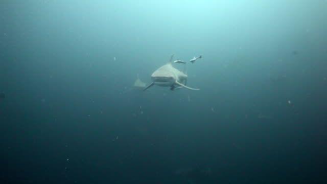 bull sharks - south africa stock videos & royalty-free footage