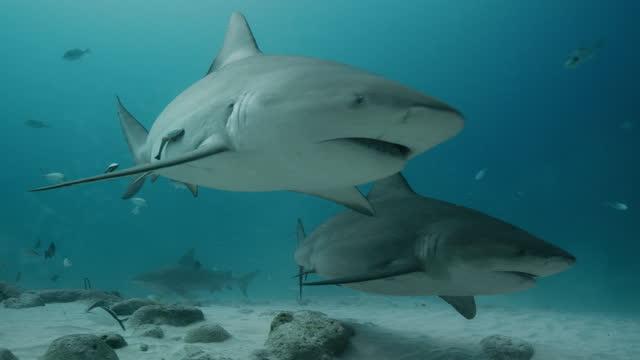 vídeos de stock, filmes e b-roll de bull sharks - shark