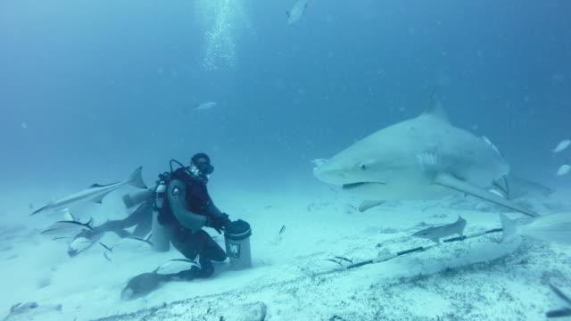 ws bull sharks (carcharhinus leucas) with diver - arpone video stock e b–roll