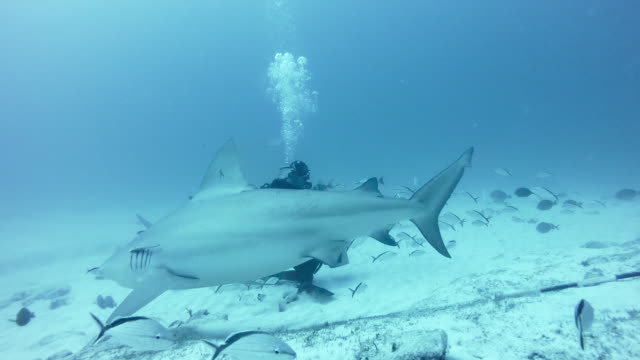 WS Bull sharks (Carcharhinus leucas) with diver