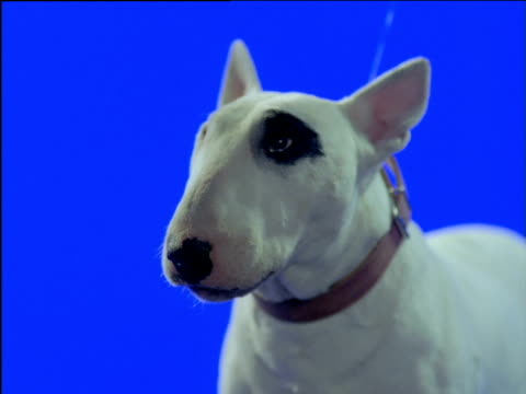 bull terrier chews, swallows and licks mouth - dog blinking stock videos & royalty-free footage