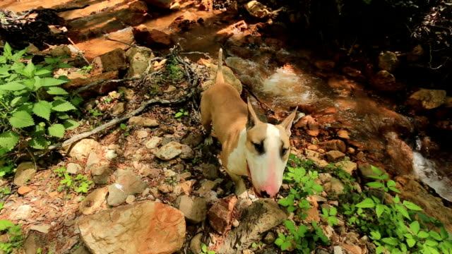 Bull Terrier in der Natur