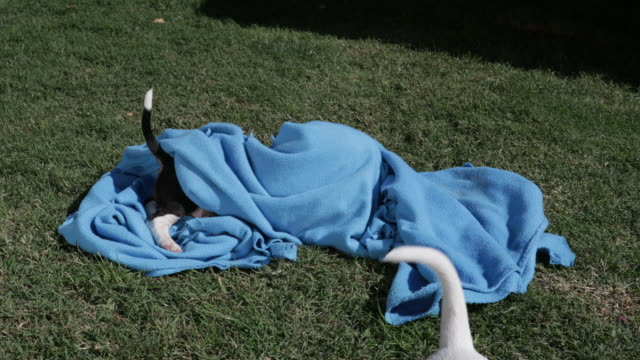 Bull Terrier puppies playing in blue blanket