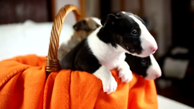 bull terrier movie bull terrier grill 233 e film vid 233 o getty images 6473