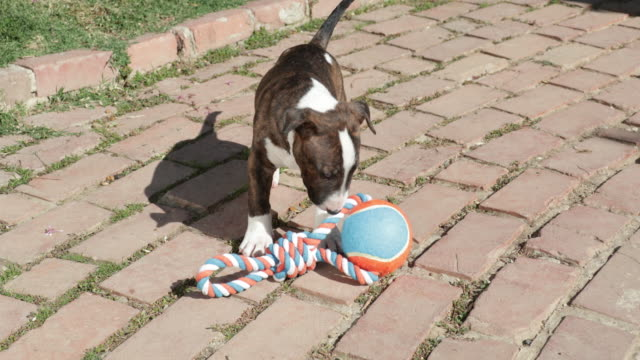 Bull Terrier puppy playing with throw toy
