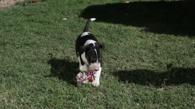 bull terrier puppy playing with throw toy - terrier stock-videos und b-roll-filmmaterial