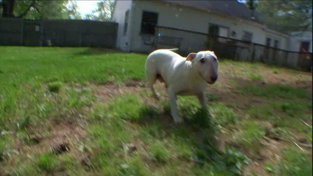vídeos y material grabado en eventos de stock de bull terriers play in a grassy yard. - terrier