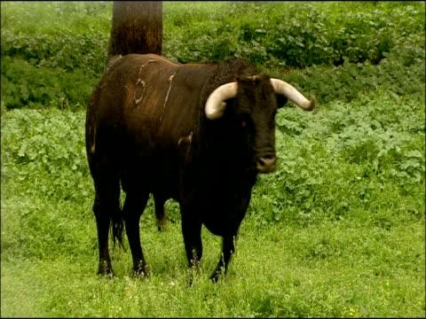 bull (bos taurus): toros bravos (bullfighting race), sierra de andujar, andalucia, spain - 雄牛点の映像素材/bロール
