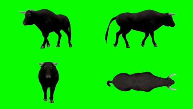 vídeos de stock, filmes e b-roll de touro andando tela verde (loopable) - gado selvagem