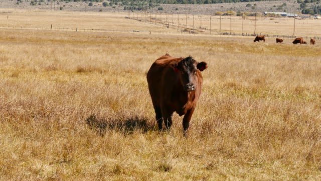 bull with yellow ear tag in a fenced field bridgeport california ear tags make it possible to identify each calf heifer steer cow and bull - ranch stock videos & royalty-free footage