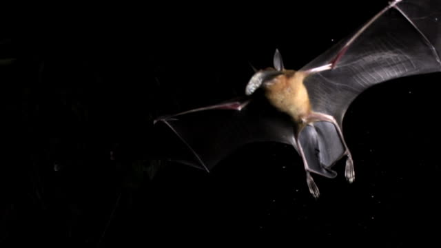 slomo bulldog bat carries fish prey, belize - pipistrello video stock e b–roll