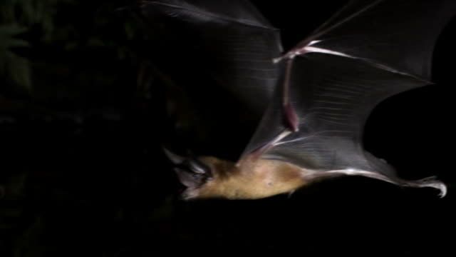 "slomo bulldog bat flies over water, belize - ""bbc natural history"" video stock e b–roll"