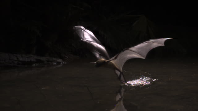 "slomo bulldog bat grabs fish from water, belize - ""bbc natural history"" video stock e b–roll"