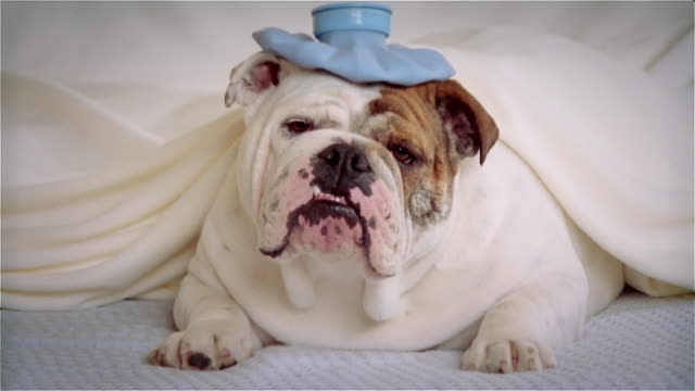 CU, Bulldog in hat lying in bed