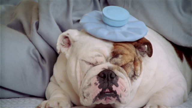 CU, Bulldog in hat lying in bed, yawning
