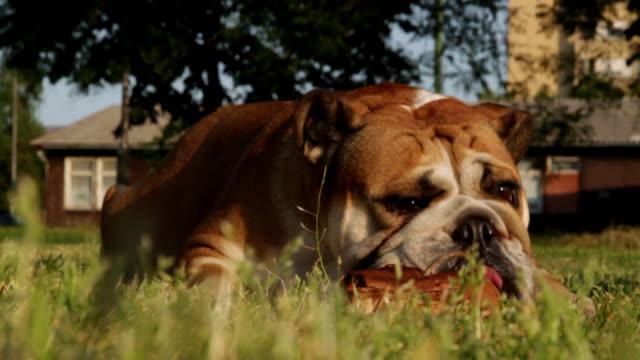 bulldog munching a bone closeup