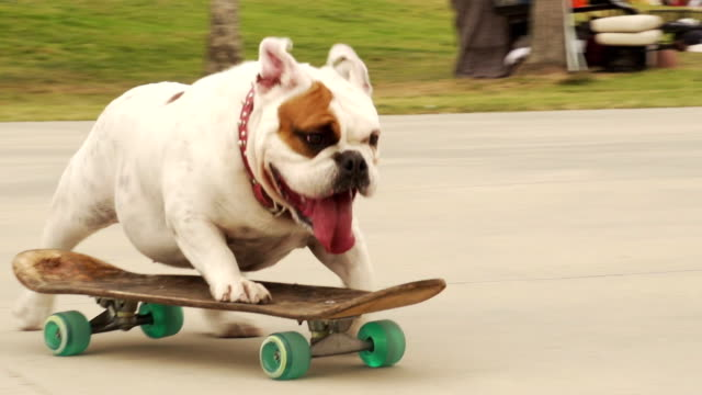 stockvideo's en b-roll-footage met montage bulldog skating - huisdier