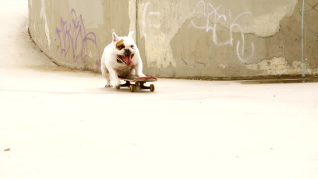 stockvideo's en b-roll-footage met montage bulldog skating - humour