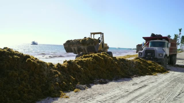 vidéos et rushes de a bulldozer grabs sand and seaweed and backs up - varech