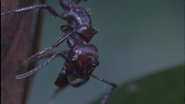 stockvideo's en b-roll-footage met bullet ant grooms itself in forest, ecuador - dierenverzorging
