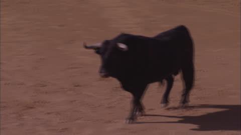 stockvideo's en b-roll-footage met ws pan bullfighting bull charges repeatedly /ronda, spain  - stier mannetjesdier