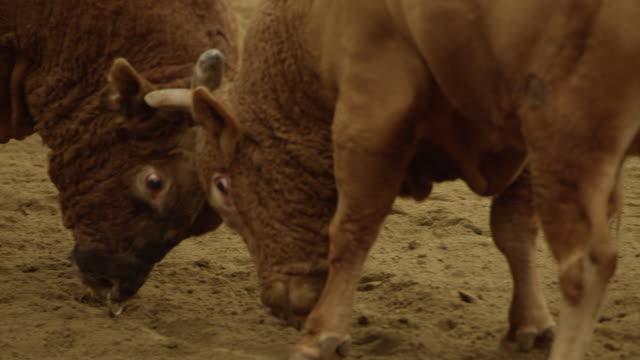 bullfighting in cheongdo-gun / gyeongsangbuk-do, south korea - hoof stock videos & royalty-free footage