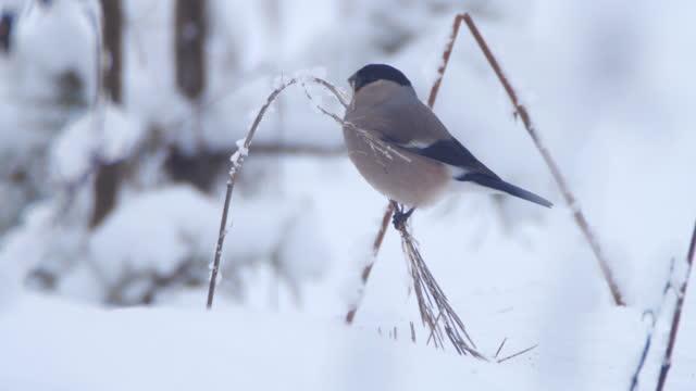 bullfinch (pyrrhula pyrrhula) after snowing, belarus - small stock videos & royalty-free footage