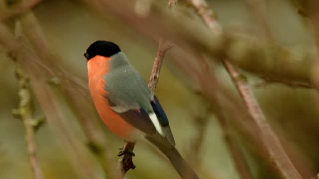 bullfinch on branch in winter - songbird stock videos & royalty-free footage