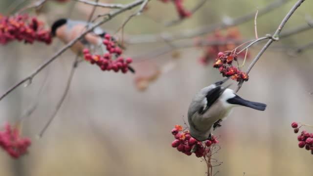 vídeos y material grabado en eventos de stock de bullfinches (pyrrhula pyrrhula) feeding on ash berries, finland - frutas del bosque