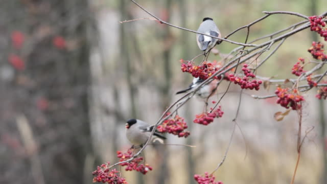 Bullfinches (Pyrrhula pyrrhula) feeding on ash berries, Finland