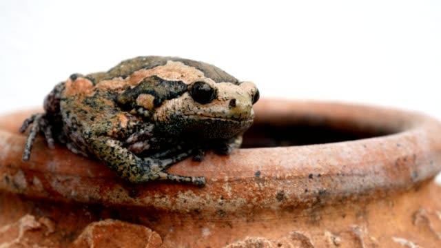 bullfrog on baked clay pottery vase on white background